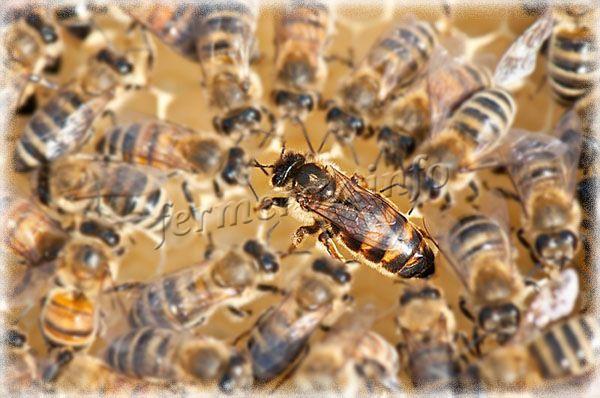 Рядом с маткой постоянно находятся пчелы-кормилицы, которые ее кормят пчелиным молочком