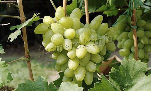 Собирать грозди стоит сразу после созревания