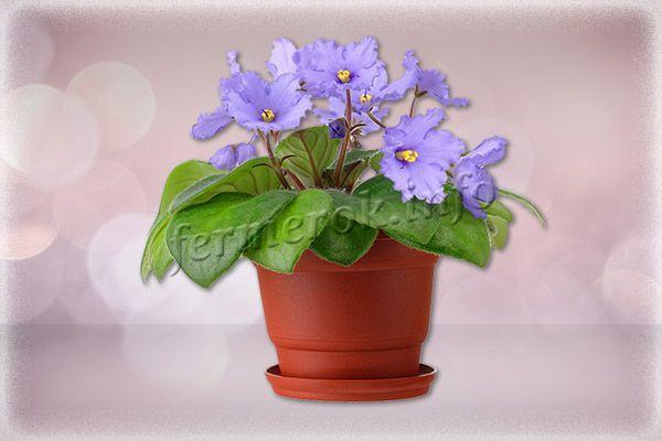 Цветение взрослой здоровой фиалки может длиться 9-10 месяцев