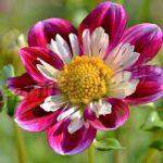 Цветок Циния (Zinnia)