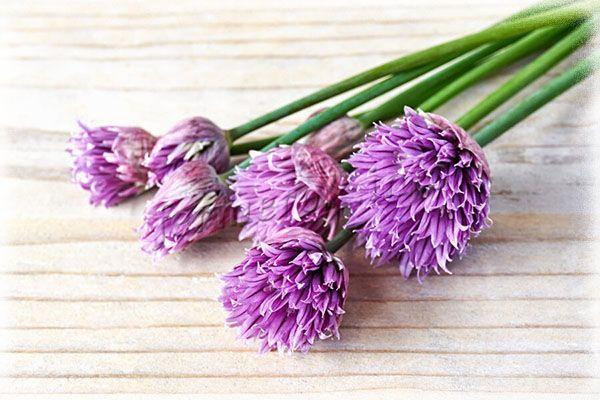Цветы Шнитт-лука может быть от белого до фиолетового цвета