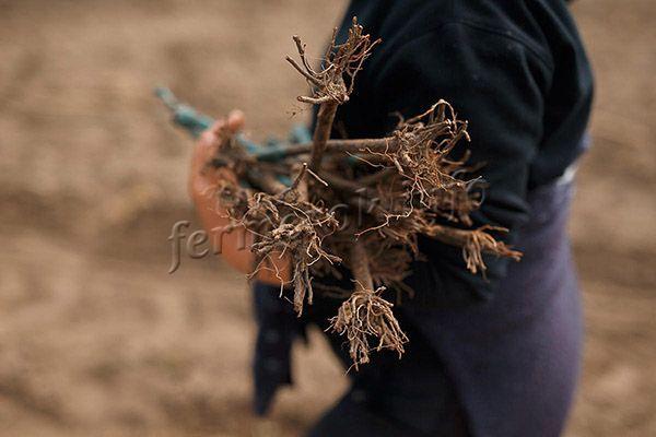 Время посадки саженца винограда весной зависит от типа его корневой системы
