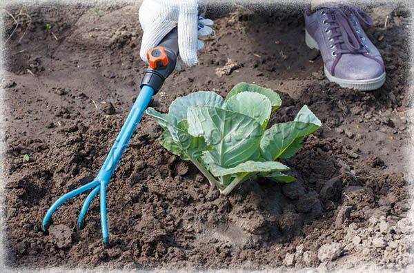 Землю под капустой важно регулярно рыхлить, чтобы она не бралась комком