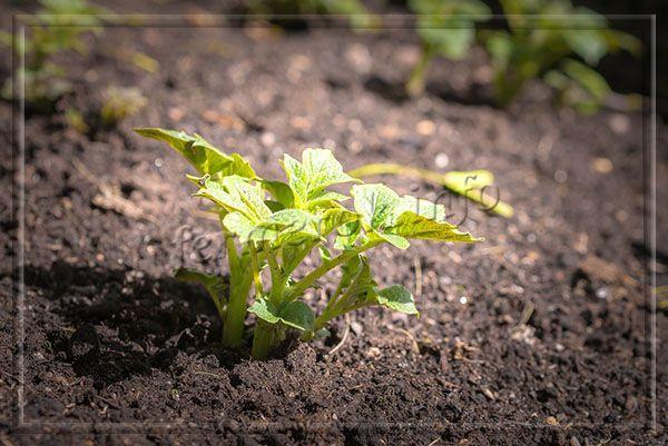 Чтобы получить большой урожай, рекомендуется все же обеспечить рыхлую землю