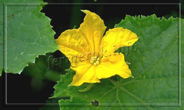 Листья большие, темно-зеленые, цветы преимущественно женские, желтые, в форме колокольчика