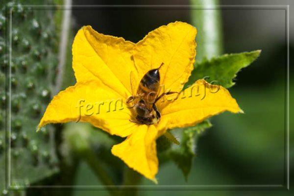 Сорт Парижский корнишон нуждаются в опылении пчелами