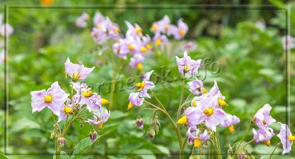 Цветы ярко-сиреневые