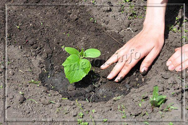 В центральных и тем более северных регионах, выращивать огурцы Парижский корнишон рекомендуется рассадным методом