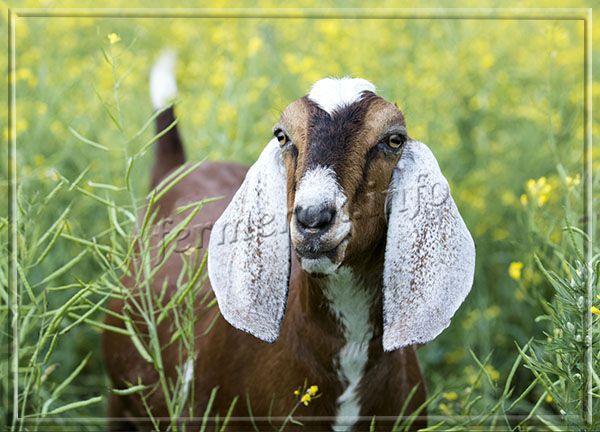 Чтобы англо-нубийские козы давали хорошее молоко, необходимо обеспечить им качественный рацион