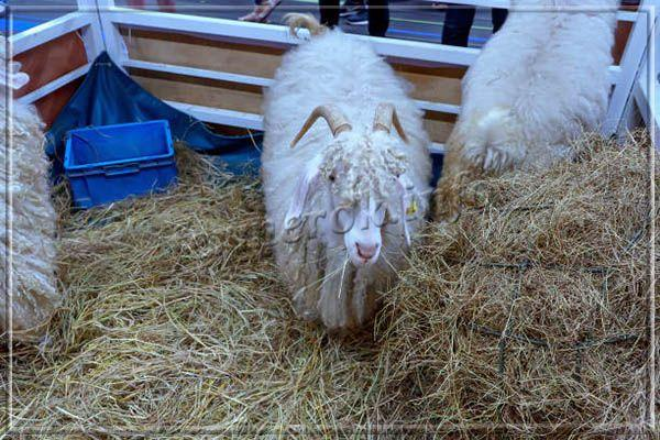 Для того чтобы козам было удобно отдыхать, для них обустраивают подстилки из соломы