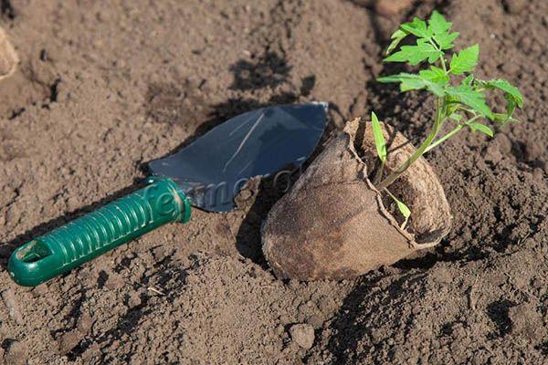 Если рассада росла в торфяных стаканчиках, то можно сажать ростки вместе с ними