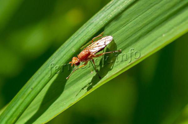 Главный вредитель, который может появиться на моркови Карамелька – морковная муха