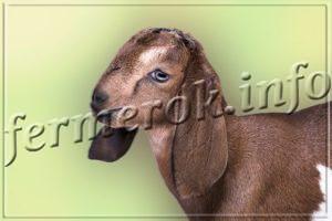 Козы породы Англо-нубийская