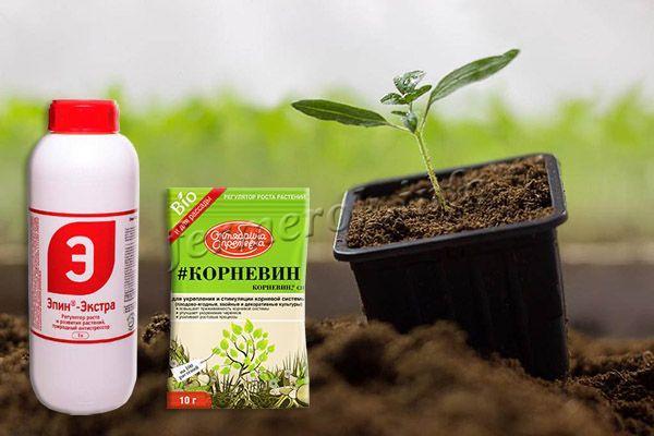 Лучше всего выращивать помидоры сорта Батяня рассадным методом