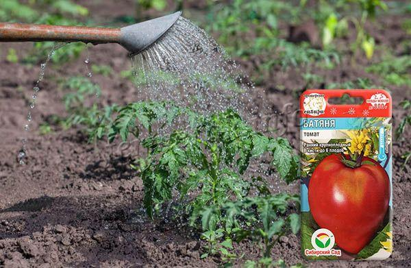 Очень важно следить, чтобы помидоры не пересыхали