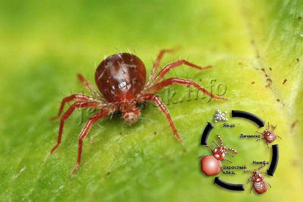Паутинный клещ – насекомое длиной 0,5 мм