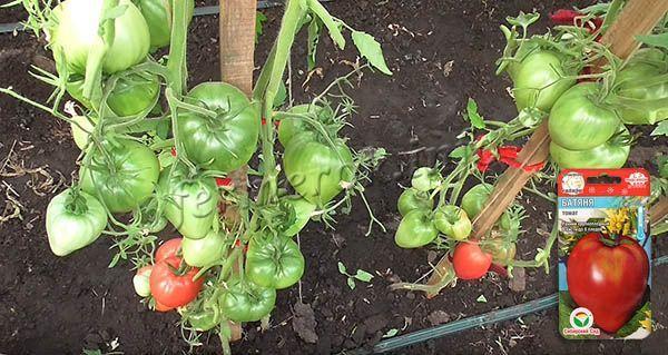 Урожайность томатов Батяня высокая и стабильная