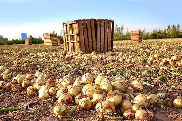 В среднем, лук убирают с июля по сентябрь в зависимости от региона и сорта