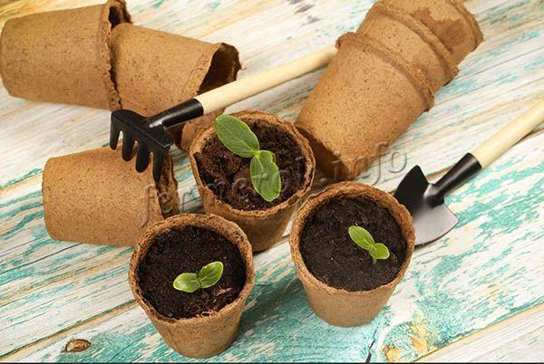 Выращивать огурцы Зозуля F1 проще всего рассадным методом