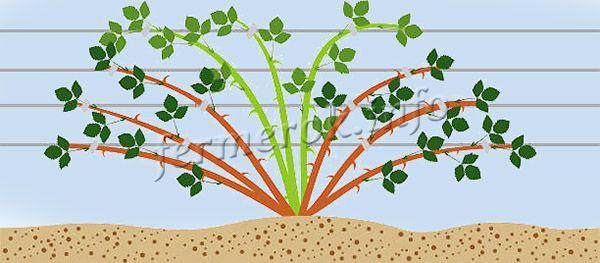Выращивают малину Патриция чаще всего на шпалере или качественной опоре