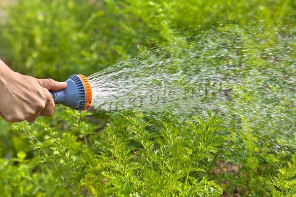 Земля не должна пересыхать, иначе корнеплоды будут вялыми или горькими