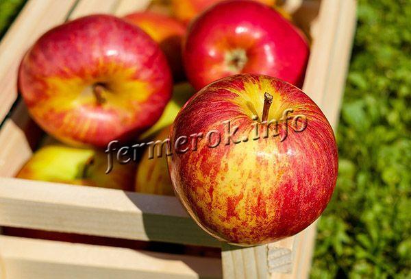 Фото яблок Гала Маст