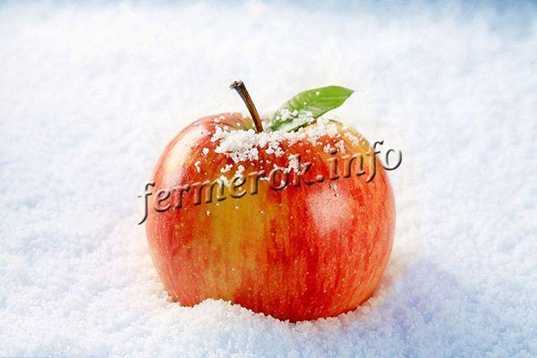 Фото яблок Гала Шнига