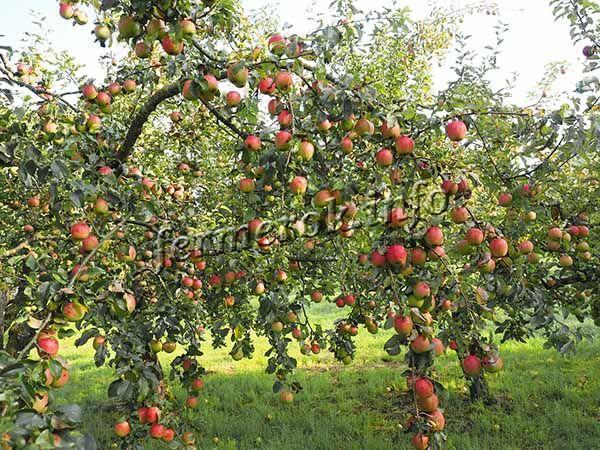 С гектара посадок снимают в среднем 350 ц яблок, а в особо урожайные годы – до 500 ц