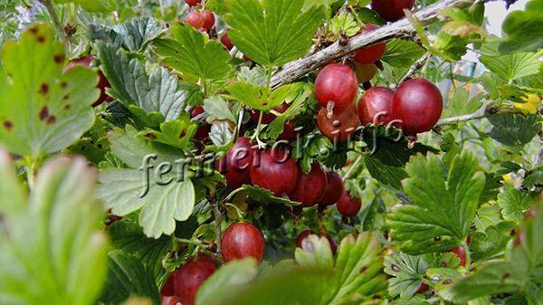С каждого взрослого кустика можно собрать в среднем 7 кг ягод за год