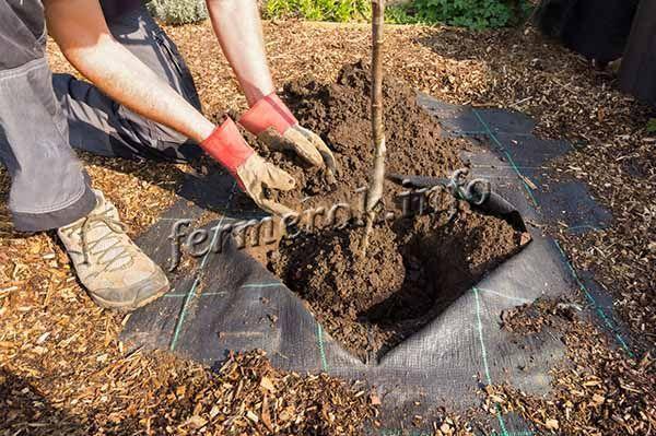 Сажать дерево сорта Гала нужно ранней осенью