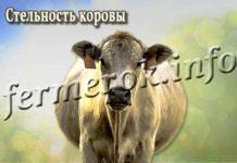 Стельность коровы