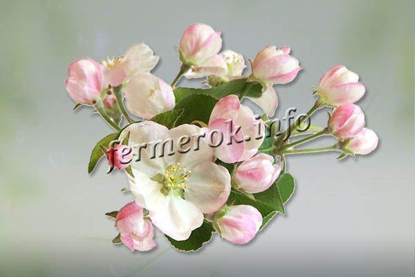 Цветы небольшого размера в виде блюдца, у основания лепестка белые, а ближе к краю розовые
