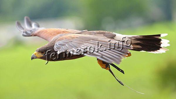 Утка кряква является лакомство для многих хищных птиц