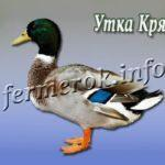 Утка породы Кряква