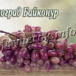 Виноград сорта Байконур