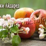 Яблоки сорта Айдаред
