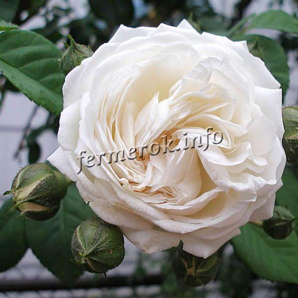 Фото белой плетистой розы сорта Лонг Джон Сильвер