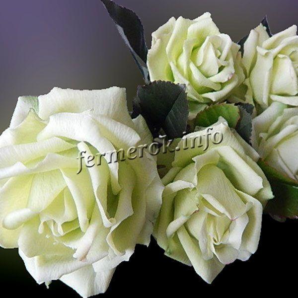 Фото белой плетистой розы сорта Аэлита