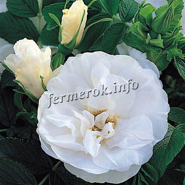 Фото парковой белой розы сорта Бланк Дабл Куберт
