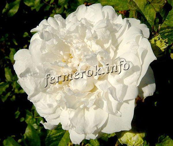 Фото парковой белой розы сорта Сэр Томас Липтон