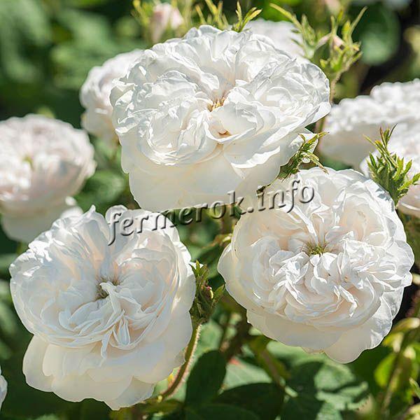 Фото парковой белой розы сорта Мадам Харди