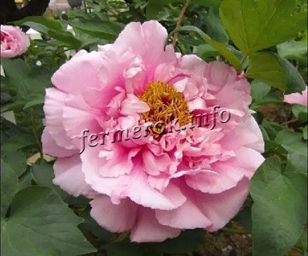 Фото древовидного пиона «Розовая река»