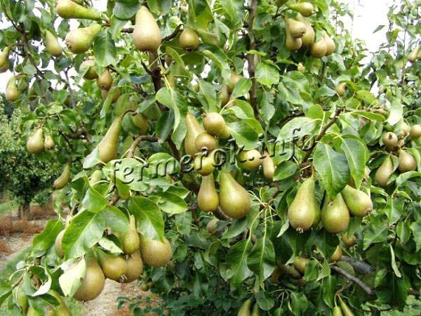 Дерево сорта Конференция может успешно расти и плодоносить в течение 50 лет!