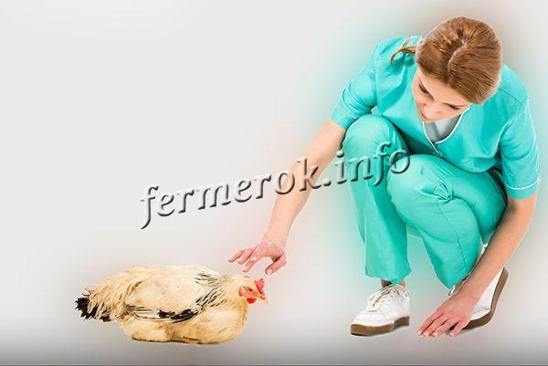 Если бройлеры падают на ноги, необходимо вызвать ветеринара, и он скажет, что случилось