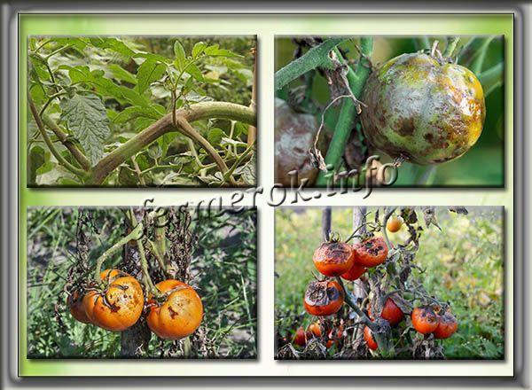 Фитофтора и ее симптомы появления на томатах