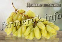 Сорт винограда Дамские пальчики