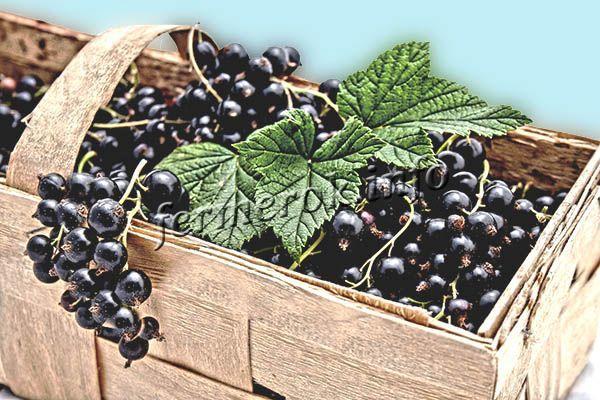 Для перевозки более всего подходят свежесобранные ягоды