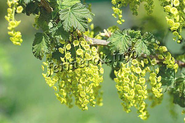 Листочки зеленые, кожистые, сморщенные, цветы большие бледно-желтые