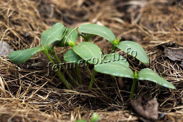 Под кустиками необходимо регулярно убирать сорняки или мульчировать почву