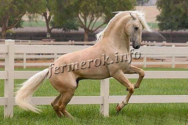 Соловая лошадь имеет светло-желтый или золотистый цвет